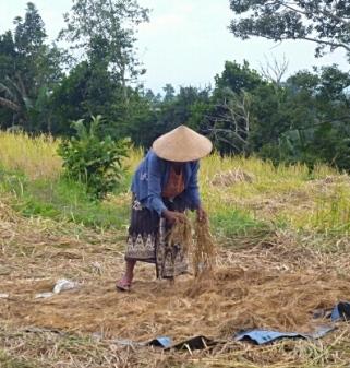Rice farmer, Jatiluwih
